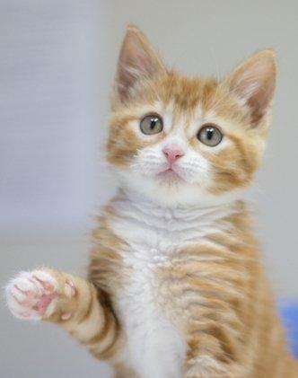 kitten ginger cat waving hello