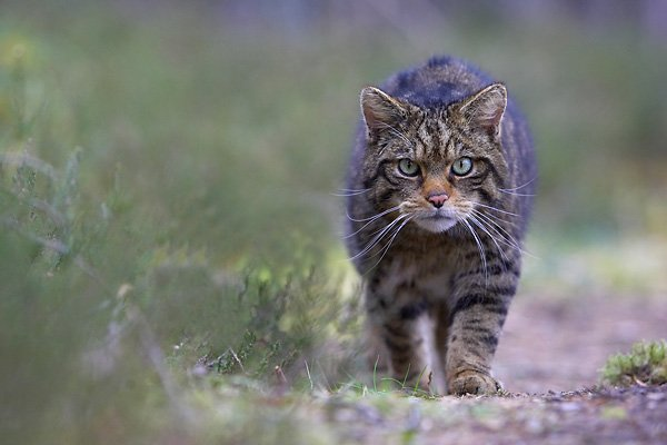 chubby cat walking down path