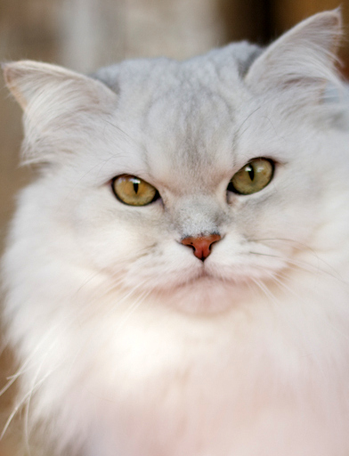 large white cat with golden eyes
