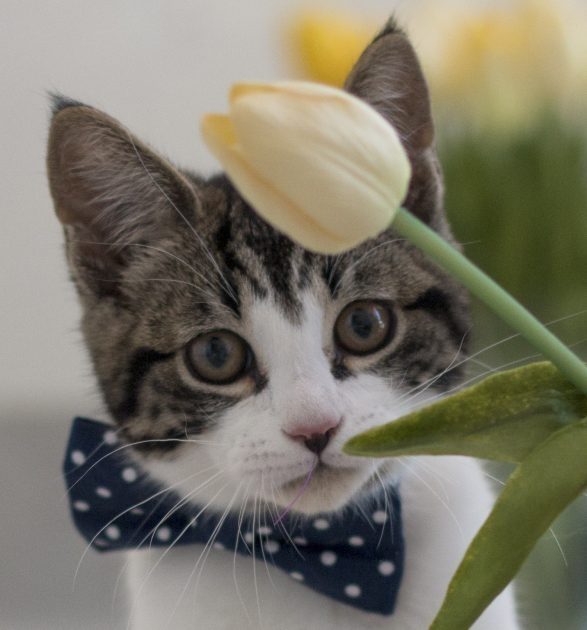 cat with bow tie on